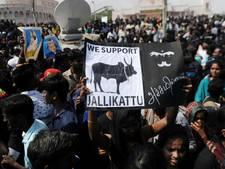Twee doden nadat premier India verboden stierenrodeo toch laat doorgaan