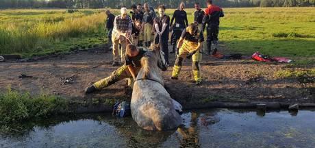 Oververhit paard gered uit sloot na verkoeling zoeken