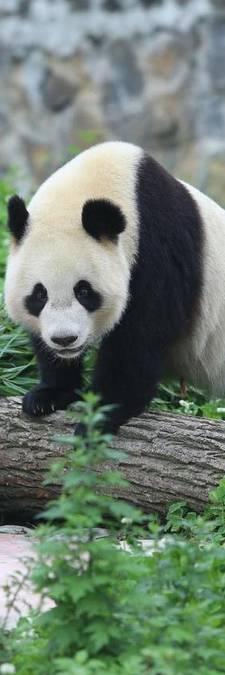 Chinese experts naar Rhenen voor inspectie Pandasia