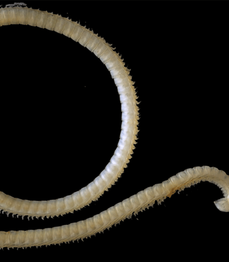 Duizendpoot ontdekt met vier penissen