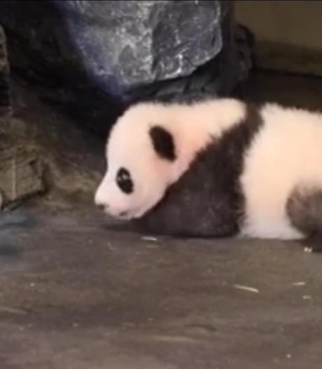 Belgische babypanda zet eerste stapjes