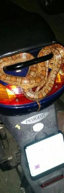 Rotterdammer schrikt van slang op zijn scooter