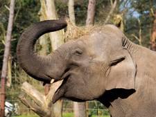 Babyolifantje op komst in DierenPark Amersfoort