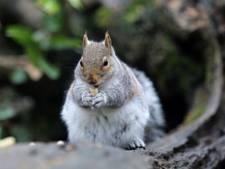 Vreetgrage eekhoorns vallen kinderen aan in Brits park
