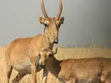 Britse filmploeg ziet 150.000 Saiga-antilopen overlijden