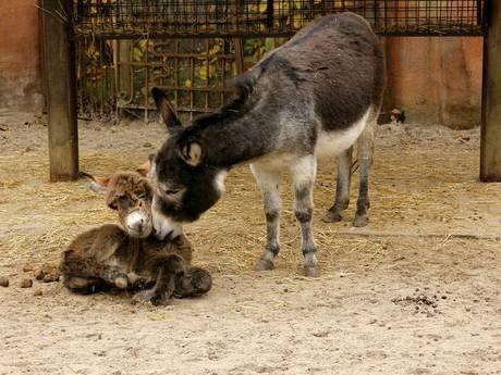 Onverwacht mini-ezel geboren in DierenPark Amersfoort