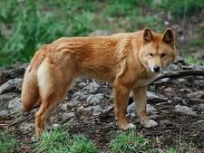 Australië stuurt wilde honden op grazende geiten af