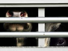 Nieuw hitteprotocol: dierenarts en veevervoerder vroeg op