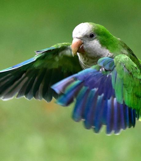 Papegaai verraadt affaire; baasje ontsnapt aan celstraf
