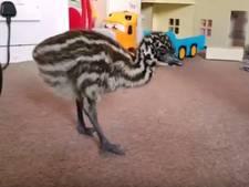 Vrouw broedt een op Ebay gekocht emoe-ei uit