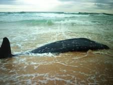 Onderzoekers voor mysterie na ontdekking walvissoort