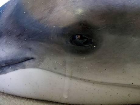Bruinvis sterft met een laatste traan in armen hulpverleners