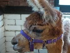 Kinderboerderij met handen in het haar na dood alpaca