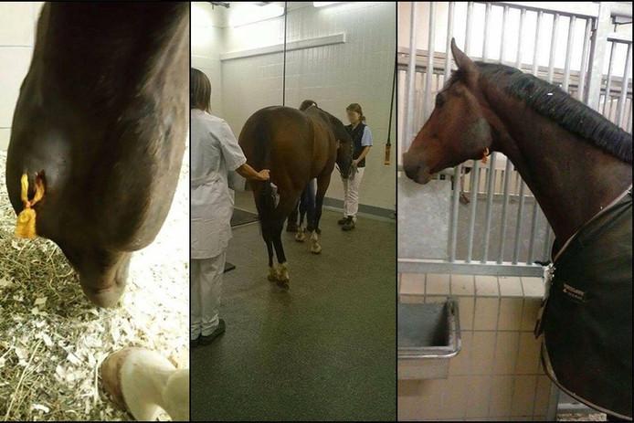 Het gewonde paard Adwoa.
