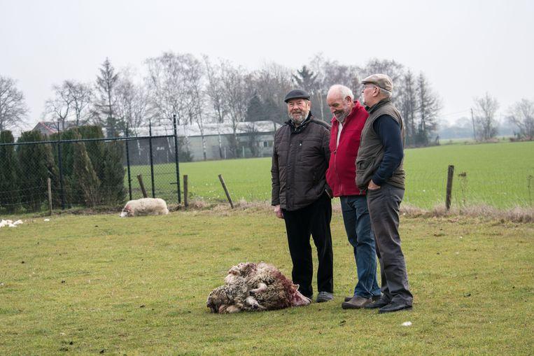 Een van de schapen werd in twee gebeten.