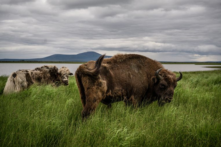 Zimov bracht jaks en bizons terug in het gebied om te bestuderen hoe de dieren zich in dit klimaat gedragen. Beeld Yuri Kozyrev/Noor