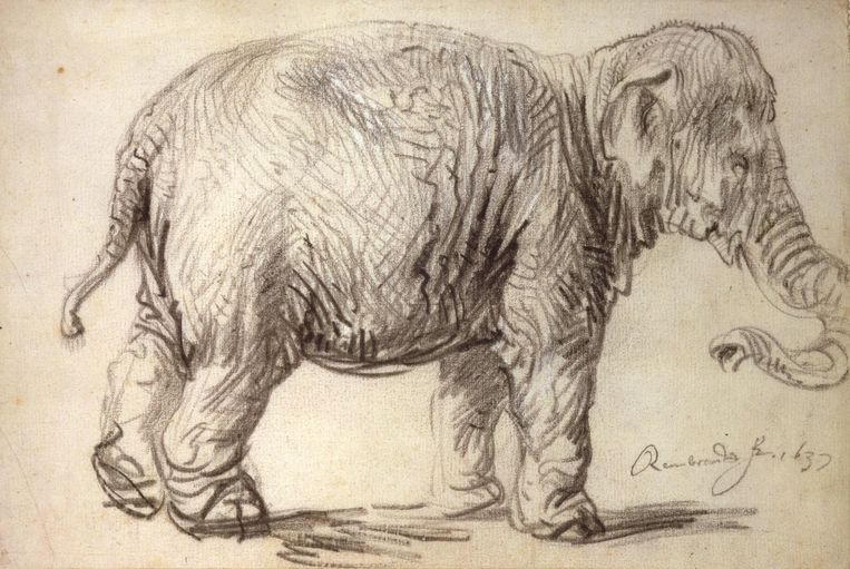 Olifant Hansken getekend door Rembrandt in 1637 Beeld Rembrandt Museum