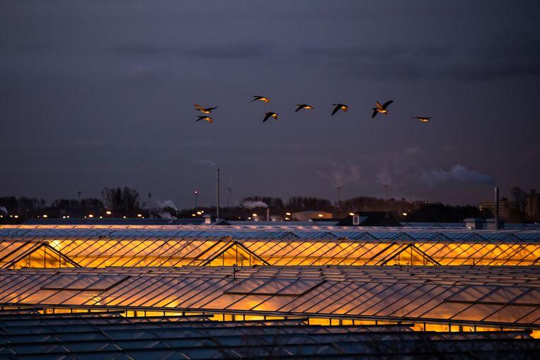 Canadese ganzen boven de verlichte kassen aan de Nieuwlandsedijk in 's Gravenzande. Beeld David Peskens