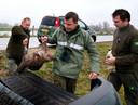 Najaar 2017: Van der Neut (links) tilt samen met collega-boswachter Thomas van der Es een dode bever in hun auto. Het dier is doodgereden op de Bandijk in Werkendam.
