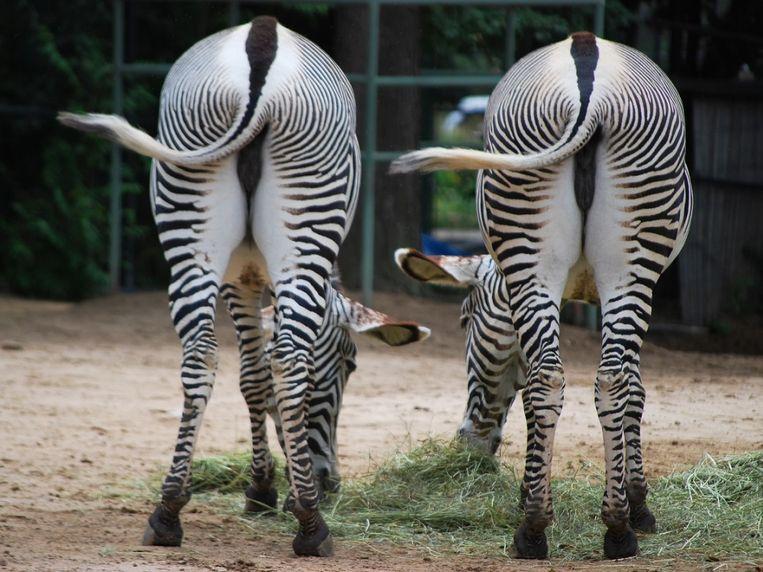 zebra-mysterie-opgelost.jpg