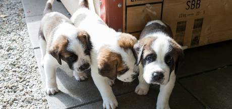 Hondentrainers: 'Knuffelen met pups op UvA slecht plan'