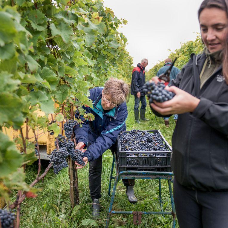 De druivenpluk is in handen van vijf vaste vrijwilligers en een aantal zzp'ers.  Beeld Eva Faché