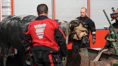 Brandweer vist stier van 800 kilogram uit gracht vol modder