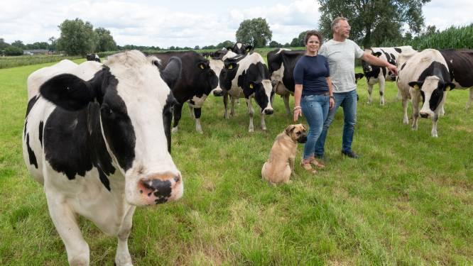 Van het melk van deze koeien in Renswoude wordt puur boerenroomijs gemaakt, zonder gerotzooi
