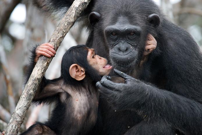 Chimpansees zijn in sommige Afrikaanse landen een delicatesse.