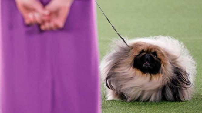 Pekinees Wasabi uitgeroepen tot de mooiste rashond van de VS
