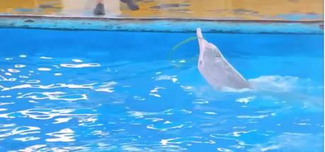 Duitse en Nederlandse organisaties weten het zeker: 'Harderwijkse dolfijnen worden in China uitgebuit'