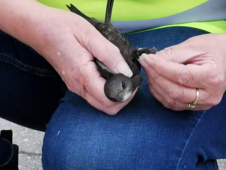Zwaluw met pootjes bekneld onder dak: vogel gered door Edese brandweer met hoogwerker