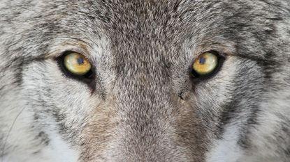 Wie heeft wolvin Naya de dood ingejaagd? Pootafdrukken, DNA en huiszoekingen moeten verdwijning uitklaren