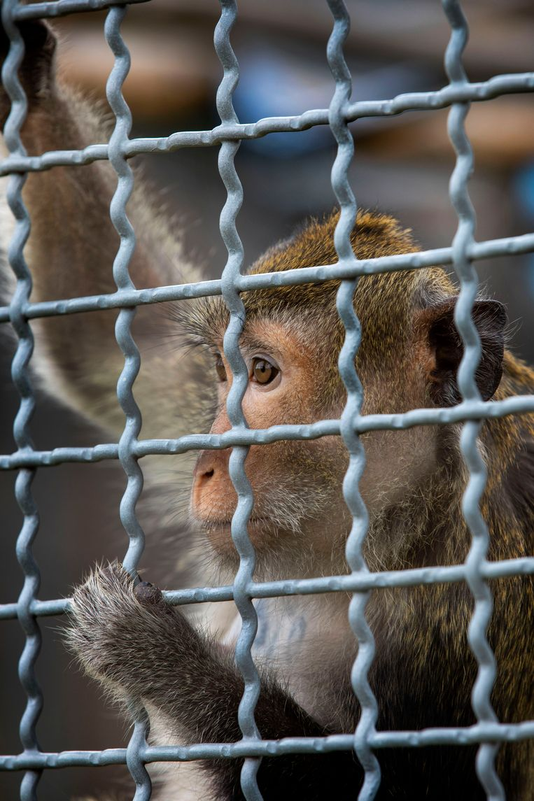 Er wordt zodra de aap is gedood bijvoorbeeld gekeken naar de pathologie van de longen en uitgebreid onderzoek gedaan naar de effecten van de ziekte en behandeling op het afweersysteem. Beeld Werry Crone