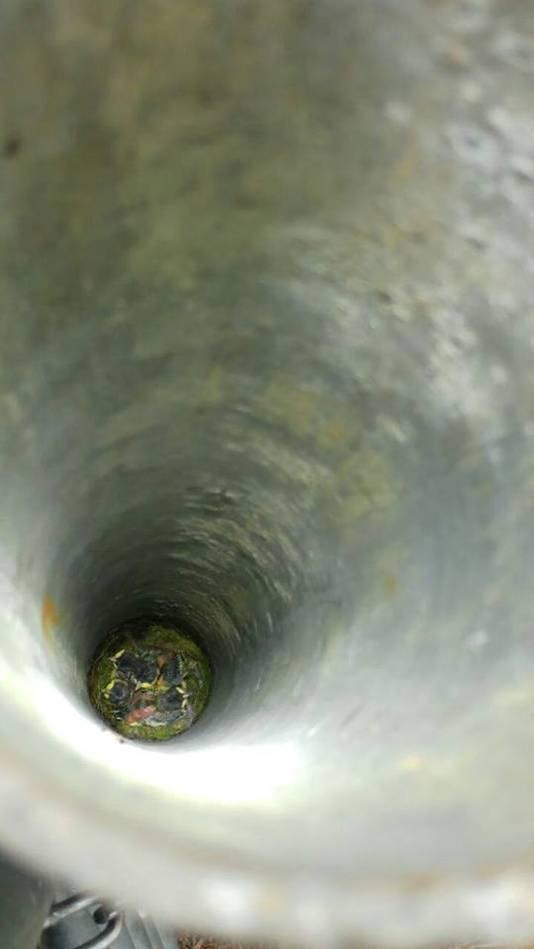 Het nestje van de koolmees was met jongen en al onderin de pijp gevallen.