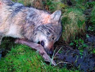Duitse jagers doden 'probleemwolf' niet ver van Nederlandse grens, uit roedel die al zo'n vijfhonderd schapen doodde