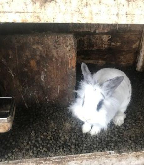 Boete voor Edese fokker voor slecht verzorgen van honderden konijntjes: 'U heeft op veel punten steken laten vallen'