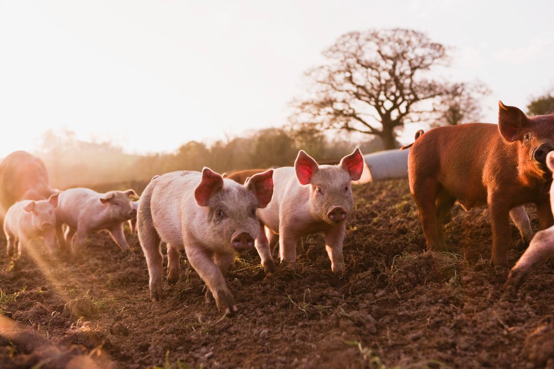Melanie Joy: '97 of 98 procent van de wereldbevolking eet dieren. Vlees eten verbieden leidt tot niets.'  Beeld Getty Images