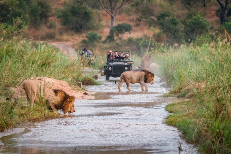 Een jeepsafari in Zuid-Afrika. Beeld Getty Images/Mint Images RF