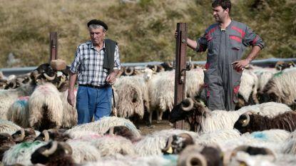 """Moeten beren opnieuw weg uit de Franse Pyreneeën? """"Alleen al dit jaar bijna 640 schapen dood"""""""