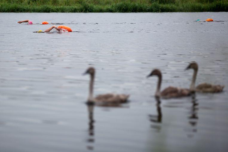 De zwemsters passeren een groepje  zwanen bij Hardenberg.  Beeld Herman Engbers