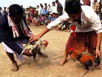 Haan doodt eigenaar in India bij hanengevecht