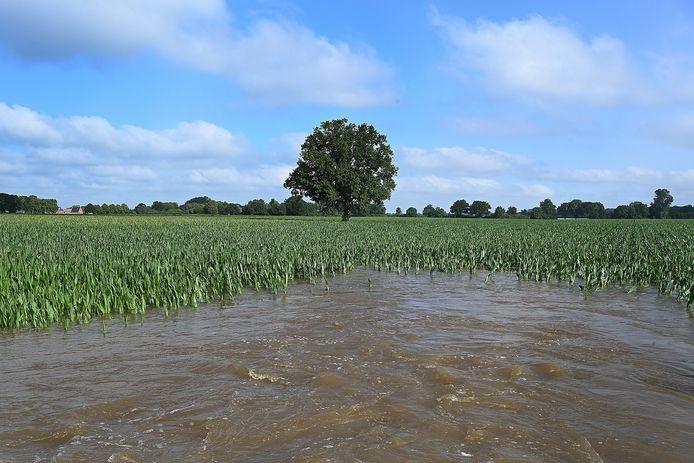 Maisvelden, zoals hier in Vierlingsbeek, hebben het zwaar te verduren gehad.
