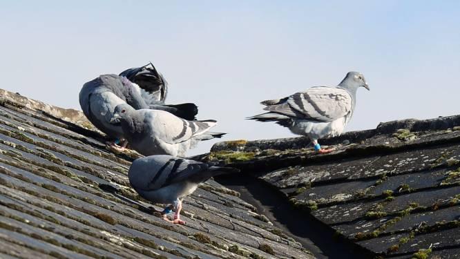 Reinigingsfirma strijdt mee tegen duivenproblematiek