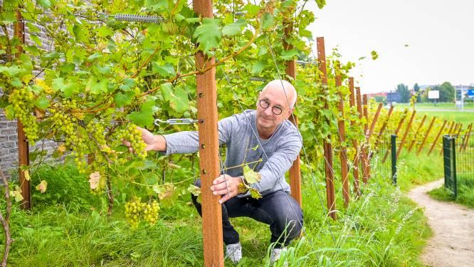 Droom van Hans in duigen: natte zomer en schimmelziekte verpesten druiven (en dus de wijn)