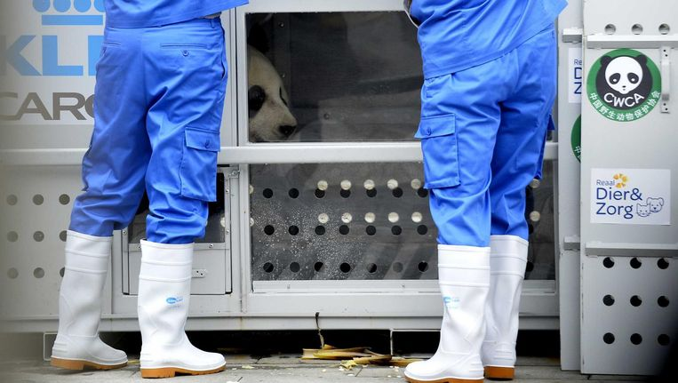 De twee reuzenpanda's worden ingeladen in China. Vanavond worden ze op Schiphol verwacht Beeld  Lyu Jia/ANP