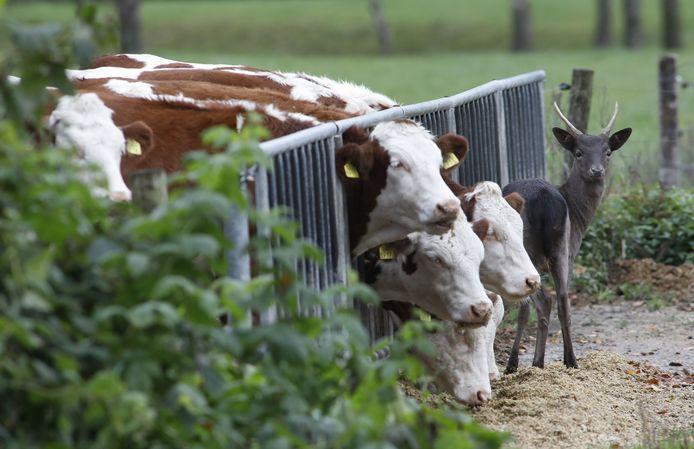 'Bambi' tussen de koeien van melkvehouder Arthur van Roekel.