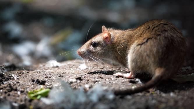 """Rattenplaag nog niet helemaal opgelost: """"Eén bewoner blijft volharden in de boosheid"""""""