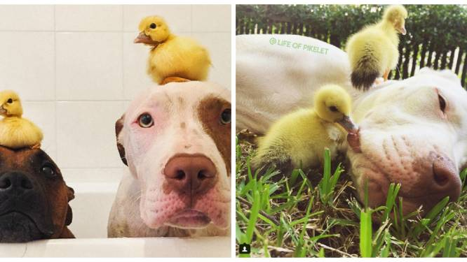 De snoezige vriendschap tussen twee honden en twee eendjes