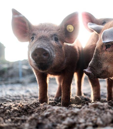 Voormalige varkenshouder sloopt stallen en maakt zo plek voor zonnepanelen